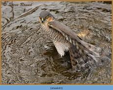 sparrowhawk-43.jpg