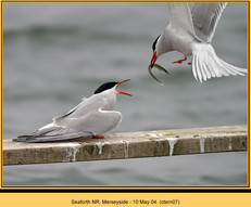 common-tern-07.jpg