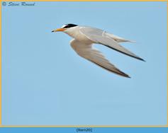 little-tern-20.jpg