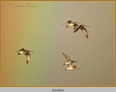 bar-tailed-godwit-06.jpg