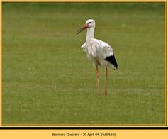 white-stork-10.jpg