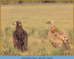 black-vulture-33.jpg