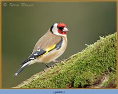 goldfinch-63.jpg