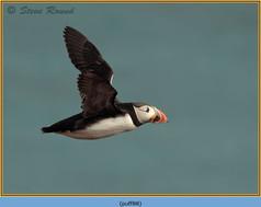 puffin- 88.jpg