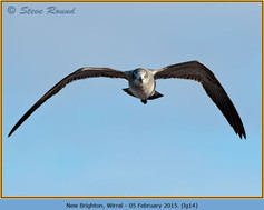 laughing-gull-14.jpg