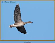 pink-footed-goose-62.jpg
