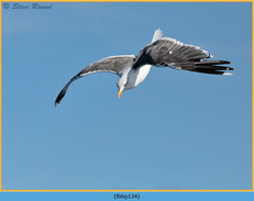 lesser-black-backed-gull-134.jpg