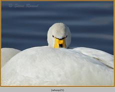 whooper-swan-25.jpg