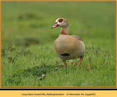 egyptian-goose-04.jpg