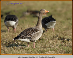 greylag-goose-10.jpg