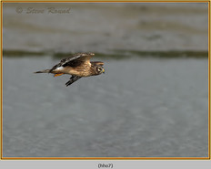 hen-harrier-07.jpg