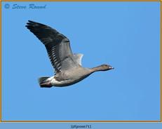 pink-footed-goose-71.jpg