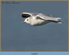 common-gull-32.jpg