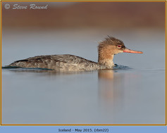 red-breasted-merganser-22.jpg
