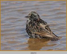 starling-21.jpg