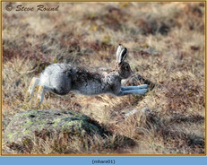 mountain-hare-01.jpg