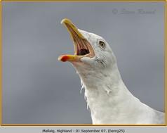 herring-gull-25.jpg