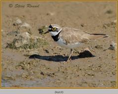 little-ringed-plover-12.jpg