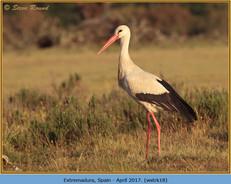 white-stork-18.jpg