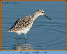 marsh-sandpiper-19.jpg