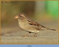 house-sparrow-41.jpg