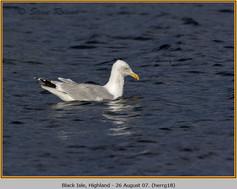 herring-gull-18.jpg