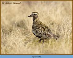 golden-plover-34.jpg