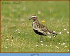 golden-plover-16.jpg