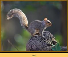 grey-squirrel-5.jpg