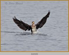 cormorant-22.jpg
