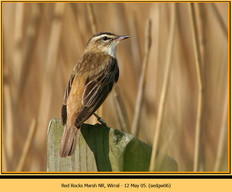 sedge-warbler-06.jpg