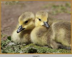 canada-goose-27.jpg