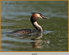 great-crested-grebe-29.jpg