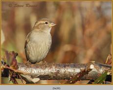 house-sparrow-39.jpg