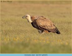 griffon-vulture-41.jpg
