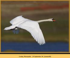mute-swan-08.jpg