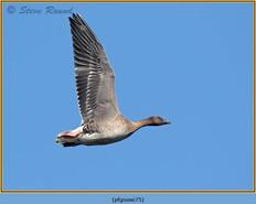 pink-footed-goose-75.jpg