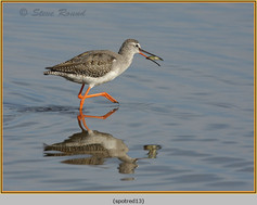 spotted-redshank-13.jpg