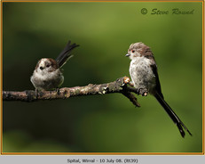 long-tailed-tit-39.jpg