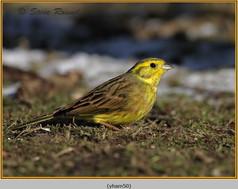 yellowhammer-50.jpg