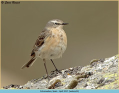 water-pipit-24.jpg