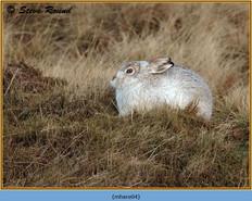 mountain-hare-04.jpg