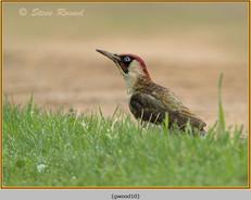 green-woodpecker-10.jpg