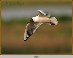black-headed-gull-30.jpg