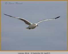 common-gull-17.jpg