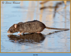 brown-rat-30.jpg