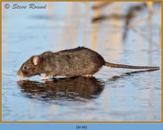 brown-rat-30.jpg