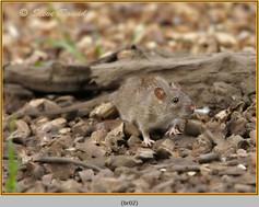 brown-rat-02.jpg