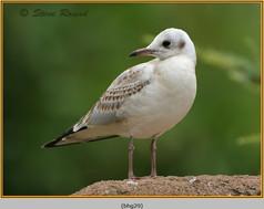 black-headed-gull-29.jpg