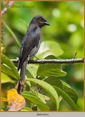 black-drongo-01.jpg